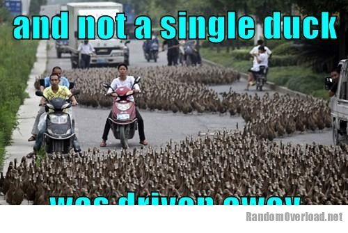 Image political-pictures-ducks-shoo.jpg