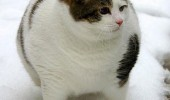 Image funny-fat-cat-snow.jpg