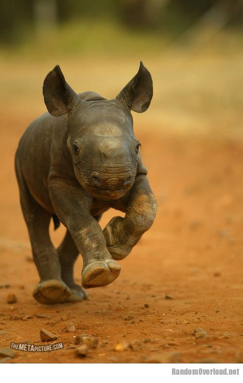 Cute Baby Black Rhino - RandomOverload