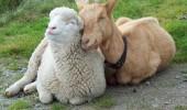 Image cute-goat-sheep-friendship.jpg