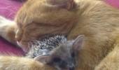 Image funny-cat-hedgehog-sleep-hug.jpg