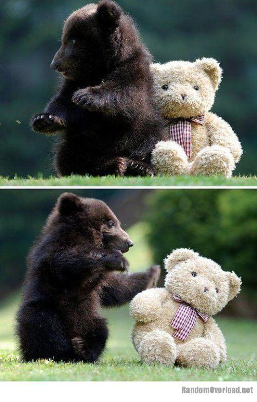 Baby Grizzly Bear Vs Teddy Bear Randomoverload