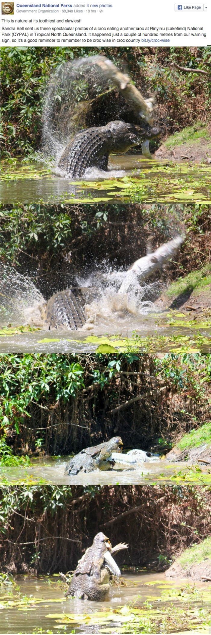 facebook Queensland National Parks posts crocodile fighting another corcodile