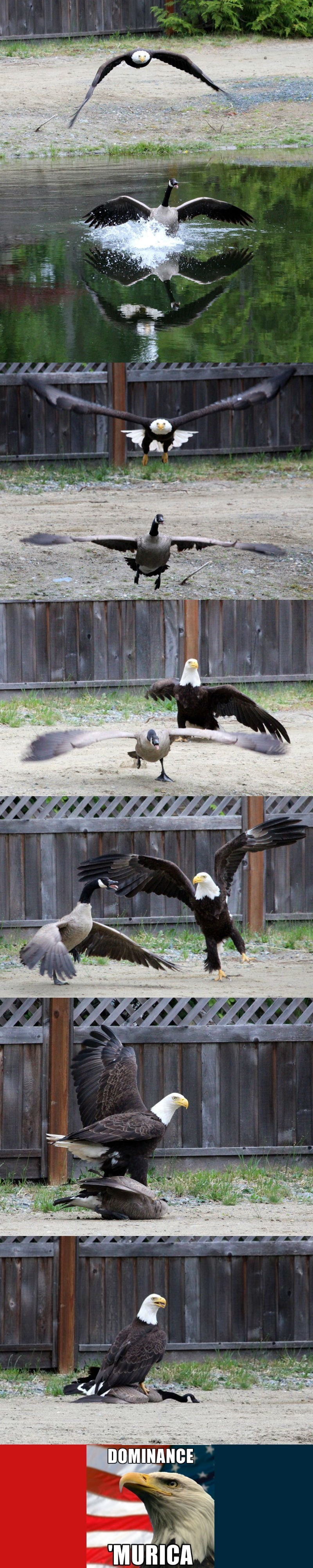 win bald eagle and canadian goose fight in real life